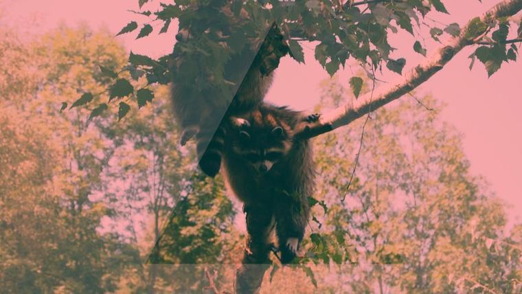 a little racoon<3
