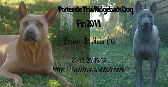 Thaï Ridgeback : portée prévue pour la fin d'année 2011