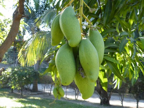 des mangues du jardin