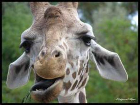 mdrrrr la giraf lol