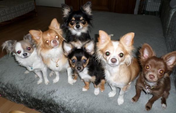 Les Conneries Des Chihuahuas