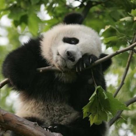 les pandas géant