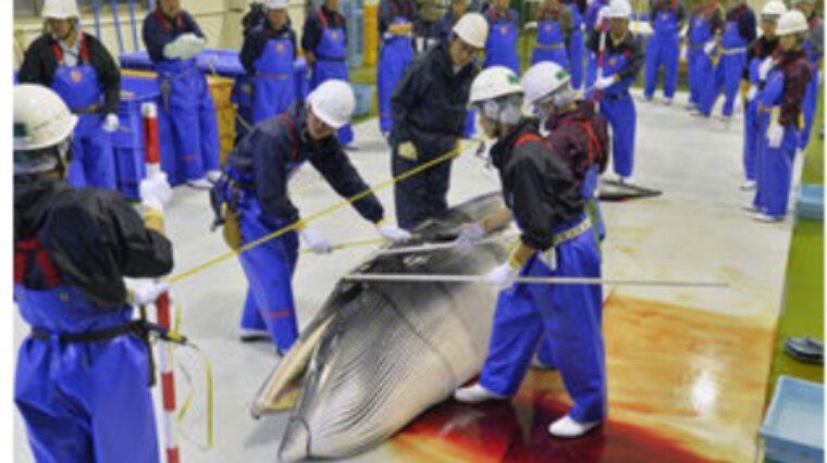 Le Japon poursuit sa pêche à la baleine en Antarctique