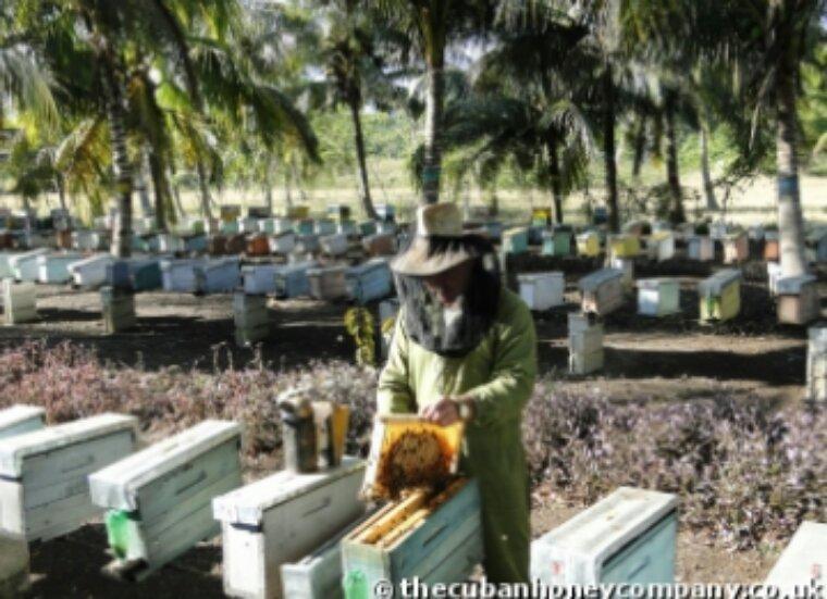 Cuba, l'un des seuls endroits au monde où les abeilles sont en bonne santé