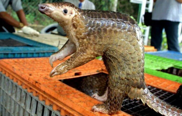 Chine : saisie record d'écailles de pangolin, espèce menacée