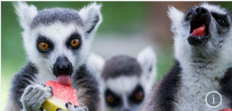 A Madagascar, les derniers lémuriens trouvent refuge dans les parcs et les réserves privées