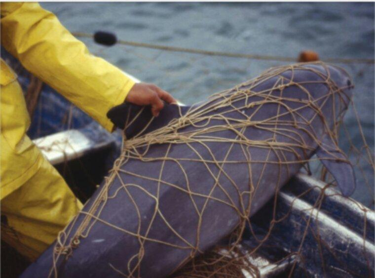 Les marsouins du Pacifique auront peut-être disparu en 2022