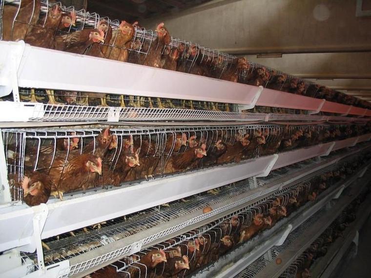 Les élevages de poule en cage en baisse en France