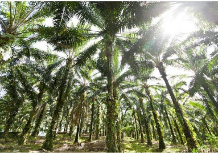 Total à fond sur l'huile de palme, cause de déforestation