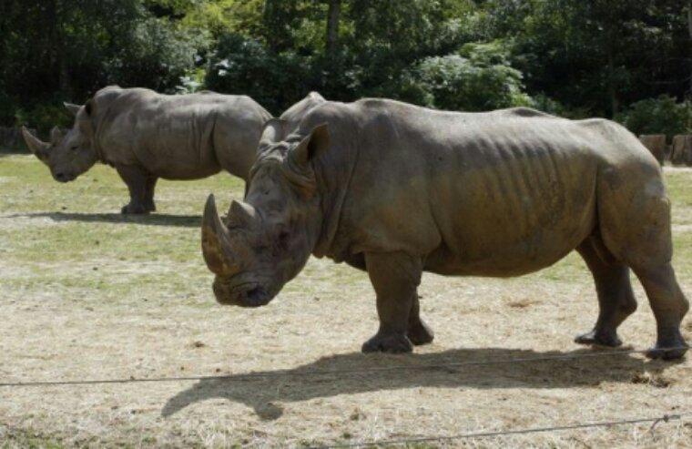 Un rhinocéros tué par balles à Thoiry : braconnage inédit dans un zoo européen