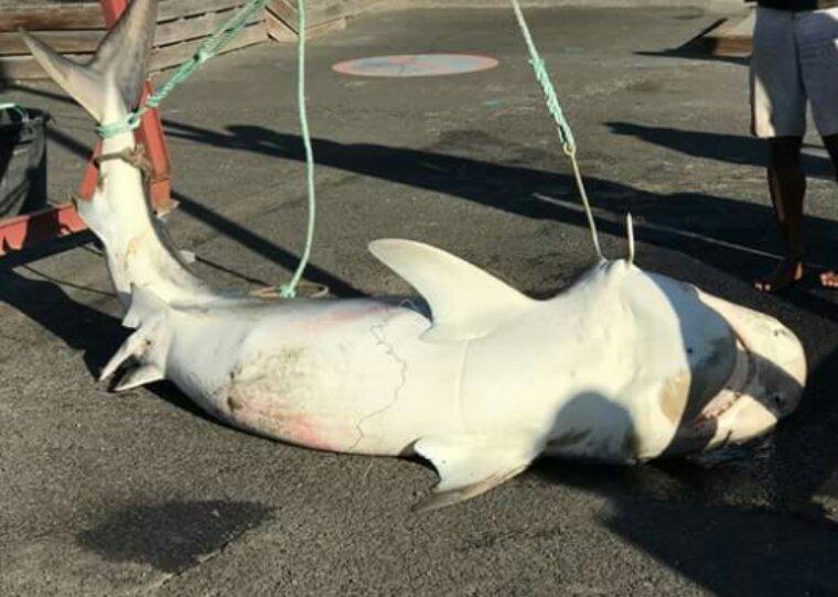 Actualité sea shepherd : requin sur l île de la Réunion