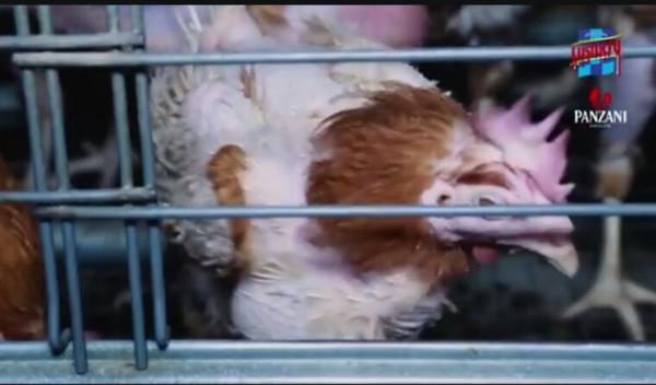Actualité l 214 :élevage de poules en cage