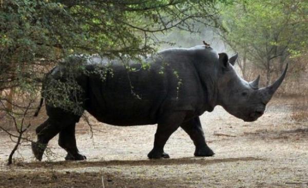Contre le braconnage, une substance rend toxique la corne des rhinocéros