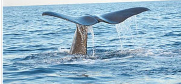 Pollution plastique et collisions avec les navires : les cétacés en danger en Méditerranée
