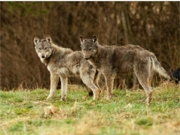 Un quarantième loup a été abattu