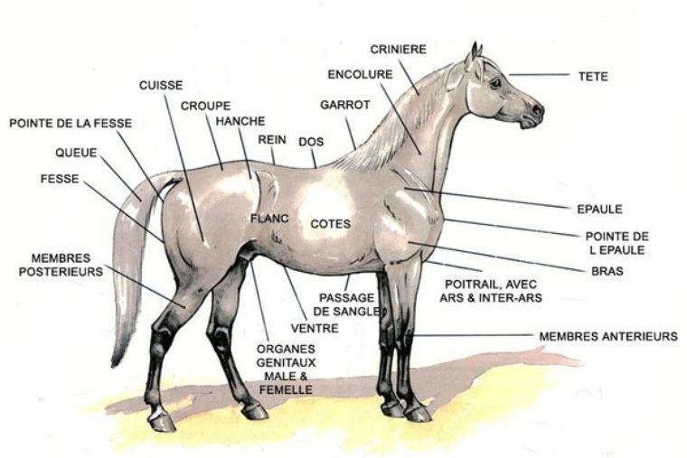 Anatomie D'un Cheval 1
