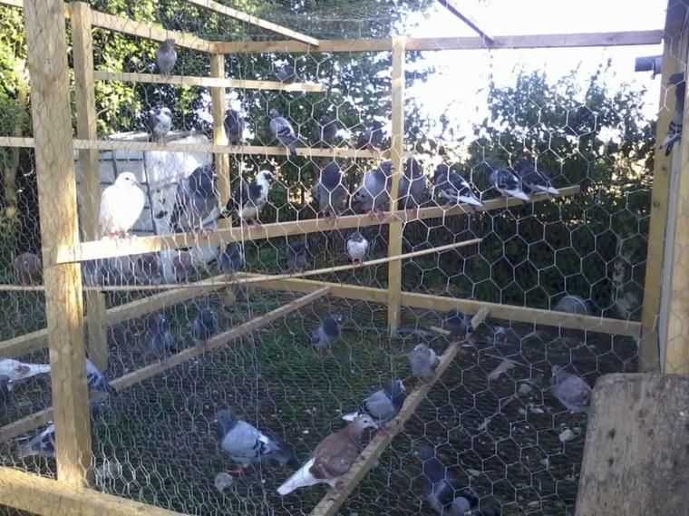 mes pigeonneaux  2013