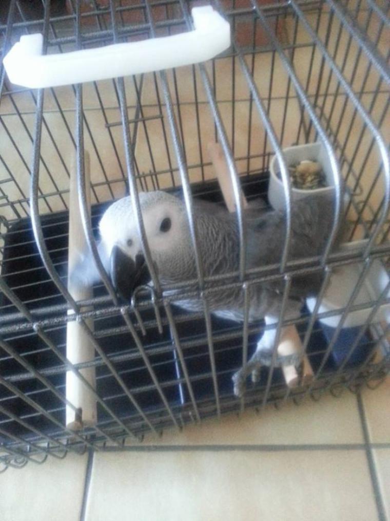 mon nouveaux pigeon .paco