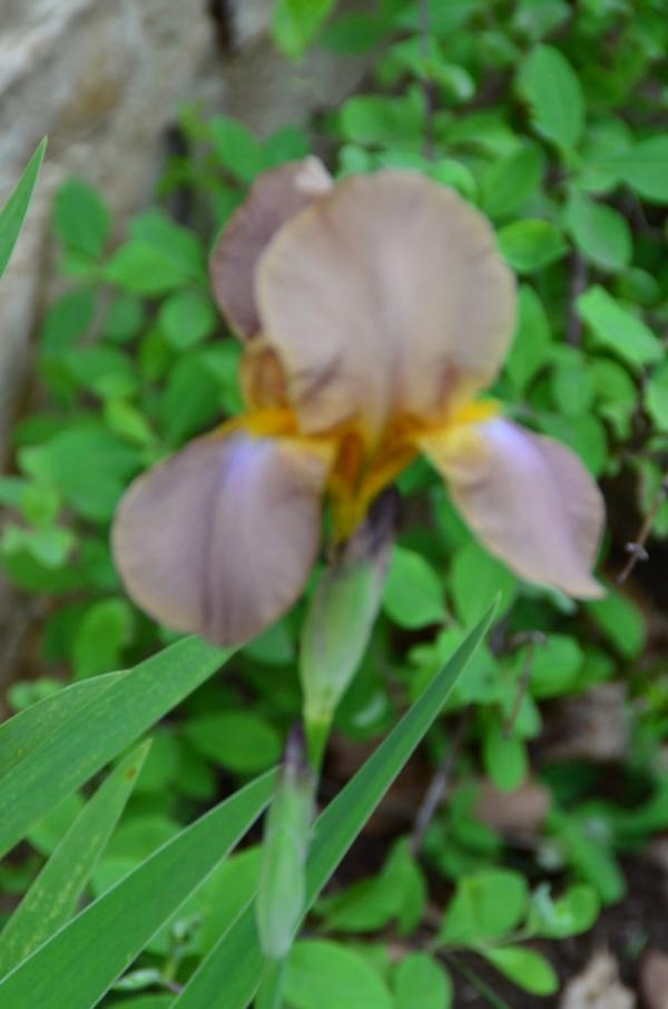 des iris de mon jardin