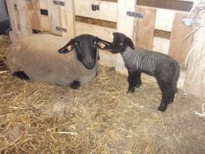 Premier agnelage - 22 décembre 2012