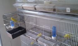 Preparación de los pájaros para concurso