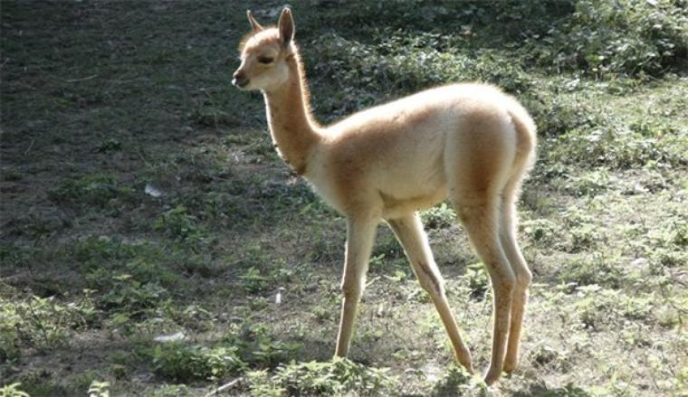 La vigogne