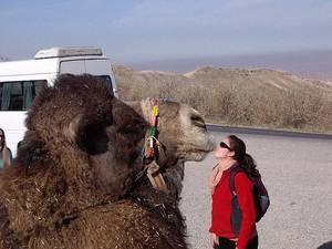 **Faits divers - Haute-Garonne : un automobiliste percute... un chameau**