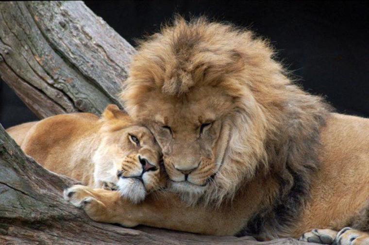 je t'aime moi aussi amour lion et lionne