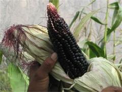 El maiz morado