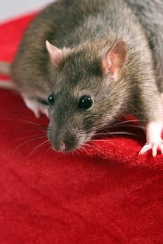 Proper baiting—the secret to controlling rodents