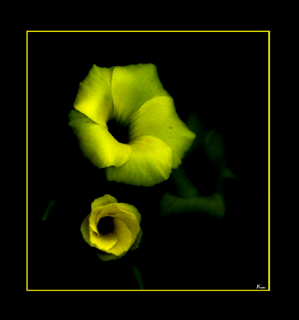 fleur jaune (homida)