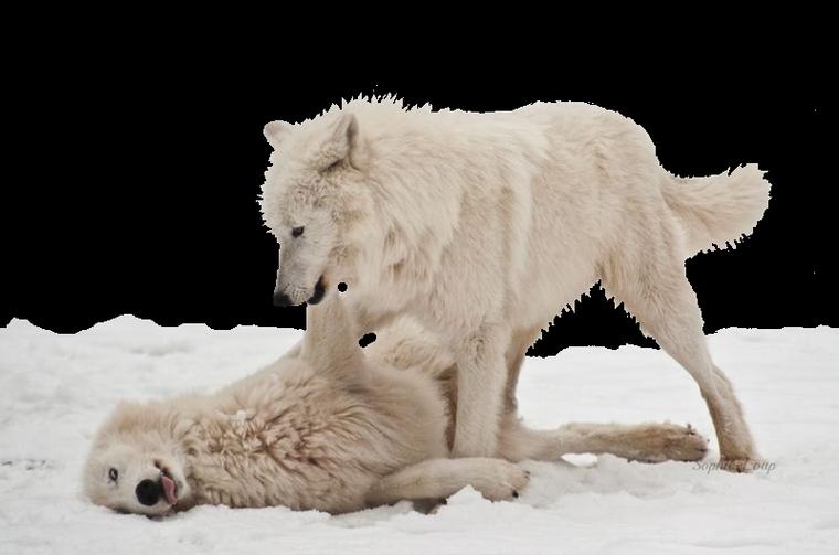 Werner Freund mange avec les loups