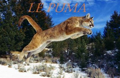 Fiche de présentation 1 : Le puma