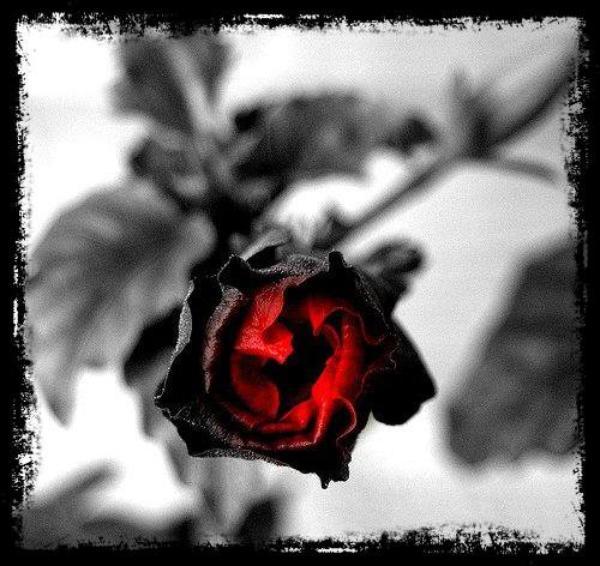 ♥ ROSES ♥