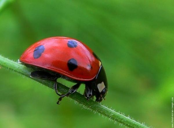 reproduction de coccinelle