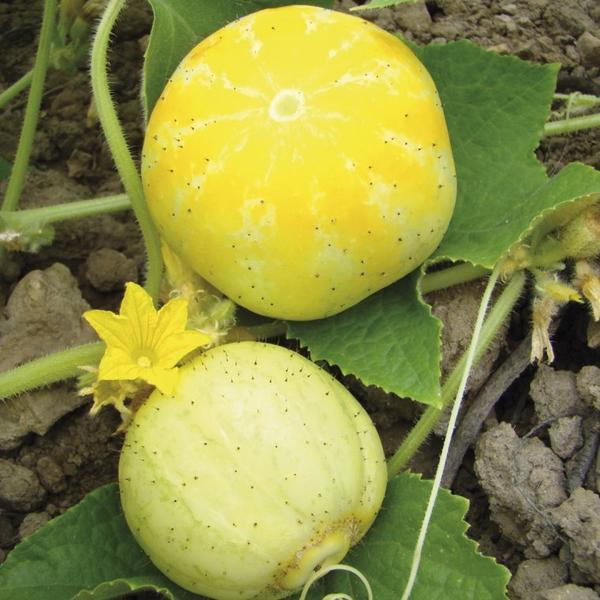 Le Concombre citron