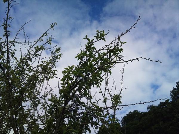 la mort des pruniers