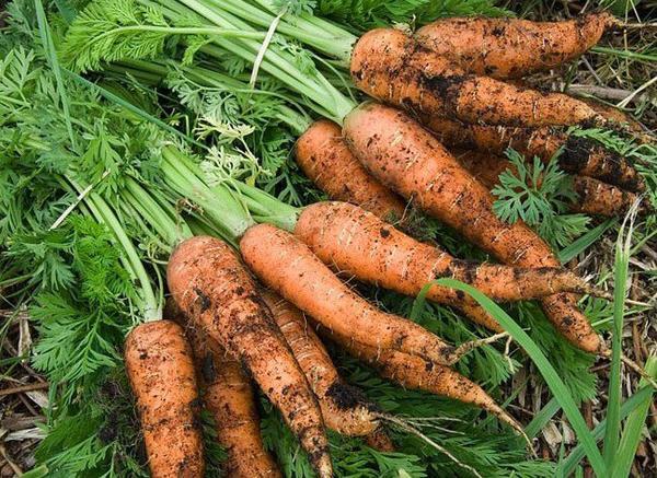 Conserver les carottes