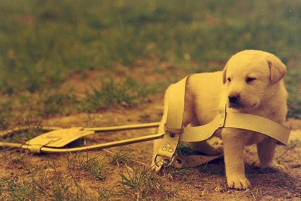 Les chiens-guides d'aveugles.