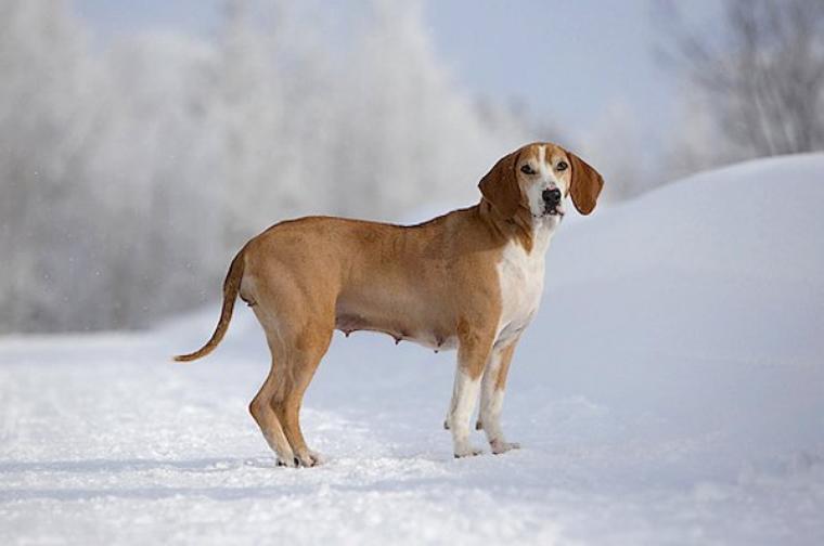 Chien courant Hygen ou Hygenhund