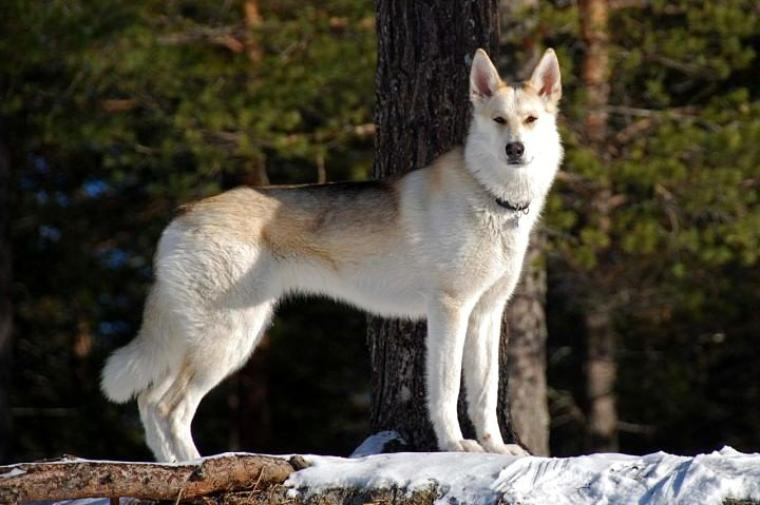 Berger de Toundra américain ou American Wolfdog