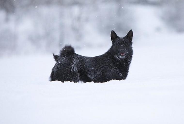 Chien d'élan noir de Norvège
