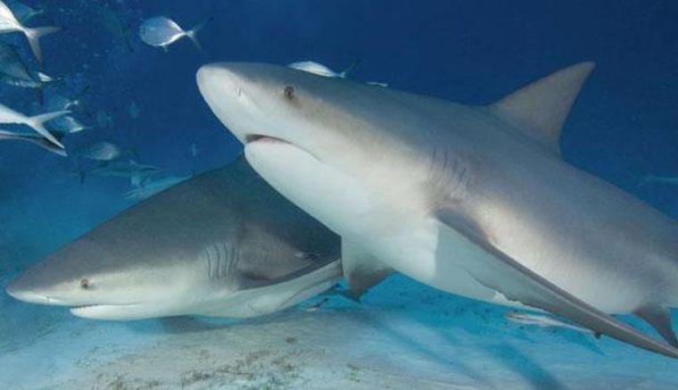 Requin d'eau douce ? Explication sur ce changement du requin bouledogue
