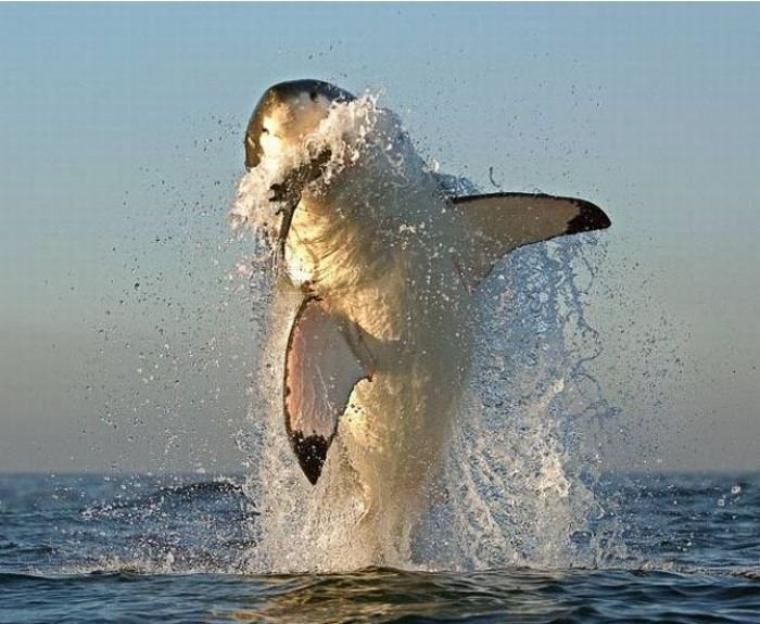 Le requin blanc est-il le plus puissant des requins ?