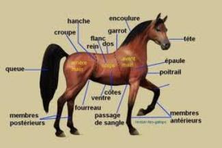 Voici l'anatomie* du cheval! (*les parties du corp)