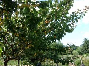malgré cette chaleur, les abricots n'en finissent pas de mûrir!!!!