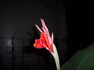 trois photos que je viens de faire à 22h45! je vous devoile un peu de feuille! mais ce n'est ni un canna, ni un glaieul, ni un iris, ni un strelizia , il est vrai que la fleur qui commence à s'ouvrir évoque le glaieul, mais les boutons ne sont pas regroupées sur la longueur de la tige, mais en bouquet au sommet! à suivre ...