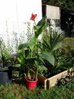 bravo COCO, et oui c'est une fleur de bananier, j'en suis moi même surprise, mais la canicule doit y être pour beaucoup, en tous cas, pour avoir vécu en Guyane  entourée de bananiers , j'en avais pas vu des comme ça!