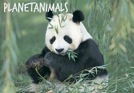 Bonne nouvelle pour les Pandas Géants !