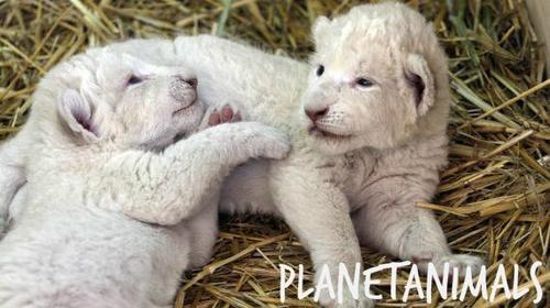 Lionceau Blanc - Scoop !